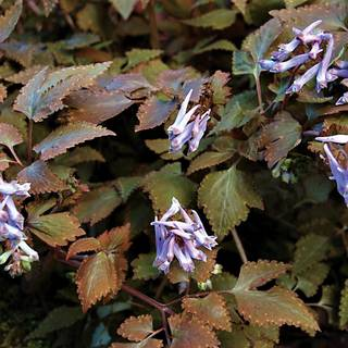 Corydalis Chocolate Star