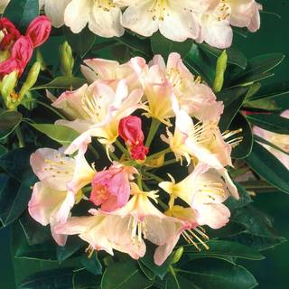 Rhododendron Percy WisemanImage