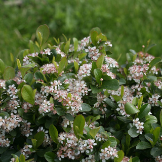 Aronia Low Scape® Mound
