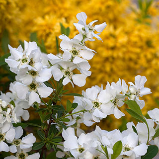 Exochorda Snow Day® Surprise