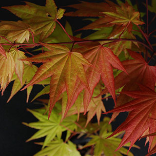 Acer Autumn Moon