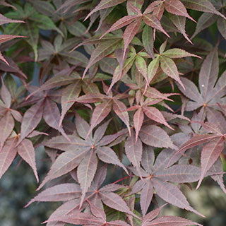 How To Plant And Care For Japanese Maples Wayside Gardens