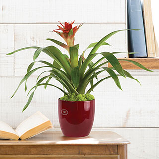 Red Bromeliad in Red ContainerImage