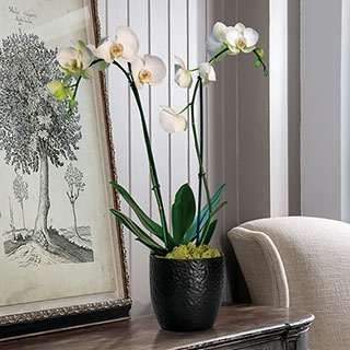 Double White Phalaenopsis Orchid in Black Ceramic