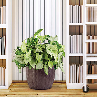Arrowhead Plant in Gray ContainerImage