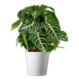 Zebra Plant in White Container