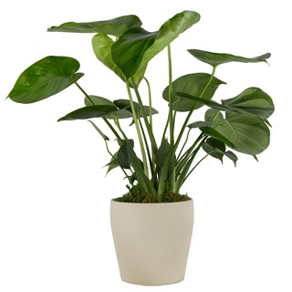 Philo Monstera in Tan Container