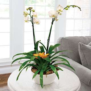 Bromeliad and Moth Orchid in White ContainerImage