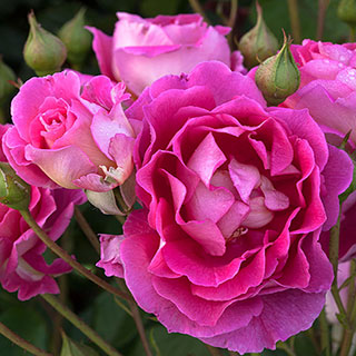 Mauvelous Shrub Rose
