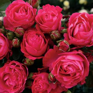 Fiji™ Hybrid Tea Rose