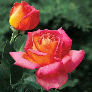Summer Nights Hybrid Tea Rose