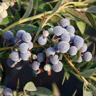 Vaccinium Blueberry Mini Blues (PPAF)