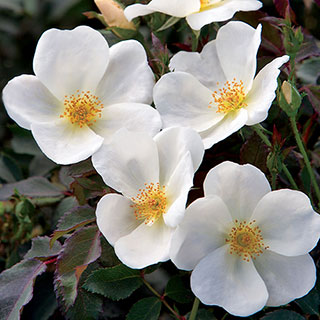 Rose White Knock Out®Image