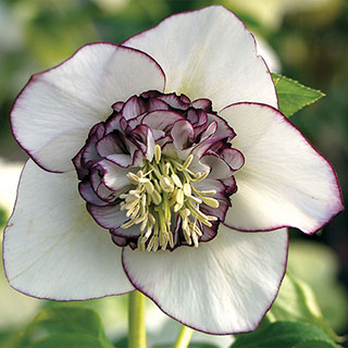 Helleborus Winter Jewels® White Pearl