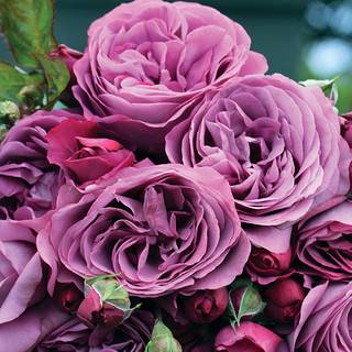 Rosa Sunbelt® Plum Perfect™