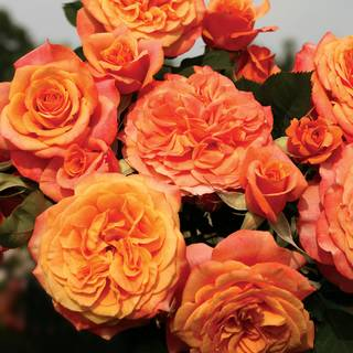 Crazy Love™ Grandiflora Rose