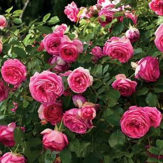 Pretty in Pink Eden® Climbing Rose