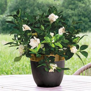 Gardenia in Modern Container
