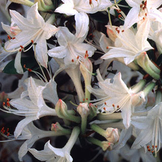 Azalea Fragrant Star