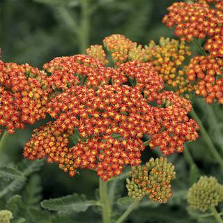 Achillea Sassy Summer Sunset