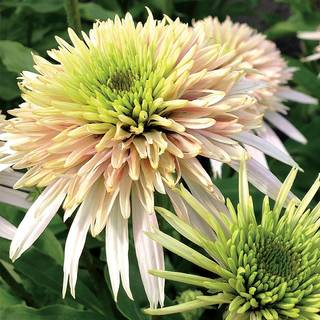 Echinacea Cone-Fections™ Cherry FluffImage