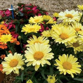 Leucanthemum REALFLOR® Real Sunbeam