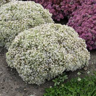 Sedum Rock N Grow® Bundle of Joy