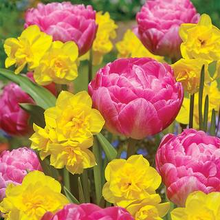 Tulip Narcissus Golden Cotton Candy Blend
