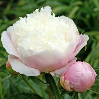 Paeonia Lady Alexander DuffImage