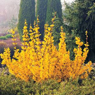 Forsythia Magical® Gold