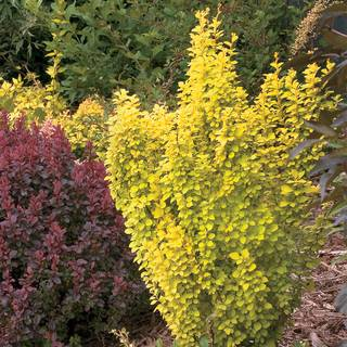 Berberis Sunjoy® Gold Pillar