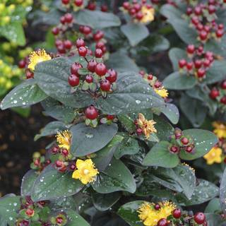 Hypericum Magical® Universe