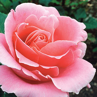 Bewitched Hybrid Tea RoseImage