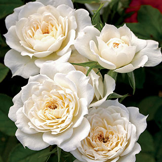 Rosa Bridal Sunblaze® Miniature Rose