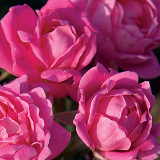 Rosa Pink Double Knock Out® 36-Inch Tree RoseImage