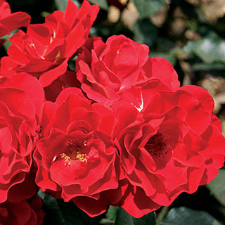Rosa Red Double Knock Out® 36-Inch Tree RoseImage