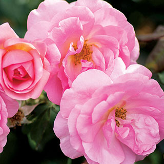Rose Peachy Knock Out®
