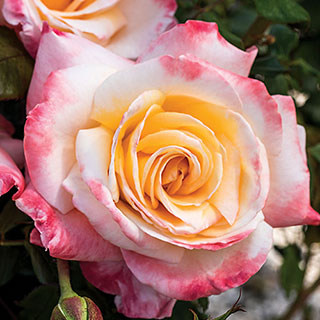 Womens Celebration Hybrid Tea Rose