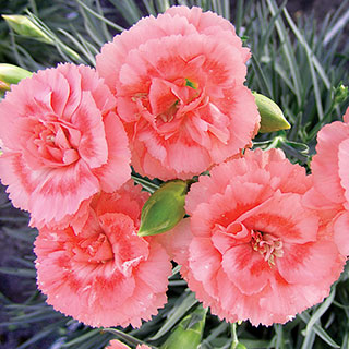 Dianthus Scent First® Tall RomanceImage