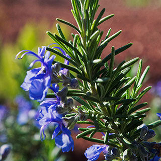 Rosemary Tuscan BlueImage