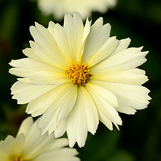 Shop All Coreopsis (Tickseed)
