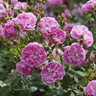 Rosa Harlow Carr®