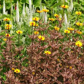 Heliopsis Summer Pink