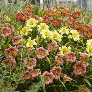Hemerocallis Everydaylily® Border