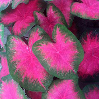 Caladium Flamingo