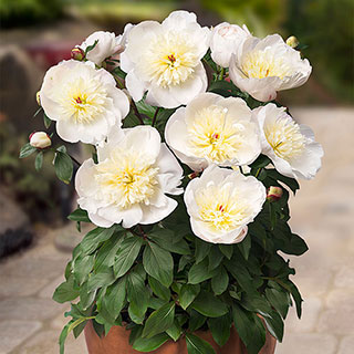 Paeonia Madrid®