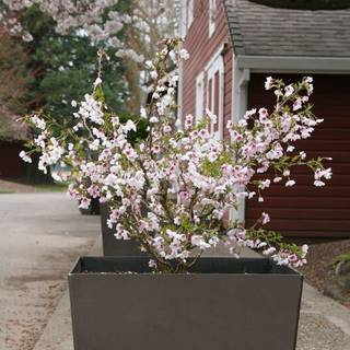 Prunus Little Twist Fuji Cherry