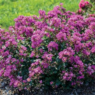 Lagerstroemia Bellini® Grape