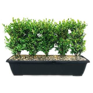 InstantHedge Green Mountain Boxwood