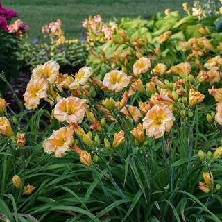 Hemerocallis Rainbow Rhythm® Orange Smoothie